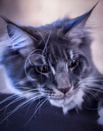 Otelo Maine coon